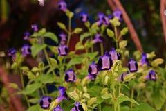 Цветок дужки, Bluewings или Torenia, свои цветки Стоковое Изображение