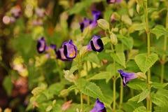 Цветок дужки, Bluewings или Torenia, свои цветки Стоковые Фотографии RF