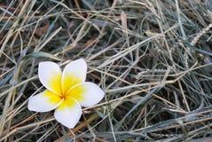 Цветок леев Стоковые Фото