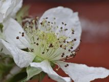 Цветок ежевики - близкое поднимающее вверх стоковое фото