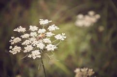 Цветок епископа Стоковая Фотография