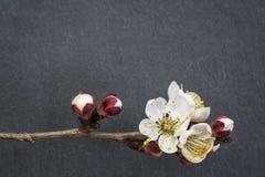Цветок дерева абрикоса на камне Стоковые Изображения RF