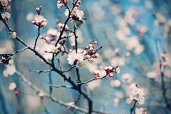 Цветок дерева абрикоса Стоковые Изображения