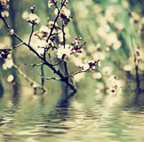 Цветок дерева абрикоса Стоковое Изображение RF