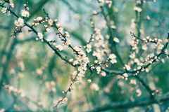 Цветок дерева абрикоса Стоковые Изображения RF