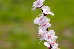 Цветок дерева абрикоса Стоковое фото RF