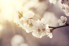 Цветок дерева абрикоса Стоковое Изображение