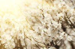 Цветок дерева абрикоса Стоковые Фотографии RF