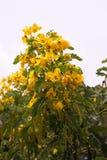 Цветок дерева взбитого яйца Стоковая Фотография