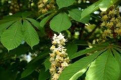 Цветок дерева каштан в парке Стоковые Изображения