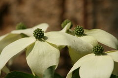 Цветок дерева кизила Стоковые Фото