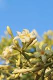 Цветок дерева папапайи стоковое изображение rf