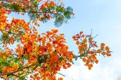 Цветок дерева пламени Стоковые Изображения RF