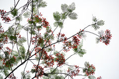 Цветок дерева пламени pulcherrima Caesalpinia Стоковое Изображение RF