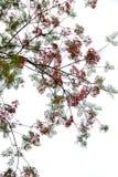 Цветок дерева пламени pulcherrima Caesalpinia Стоковая Фотография RF