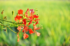 Цветок дерева пламени pulcherrima Caesalpinia Стоковое Фото