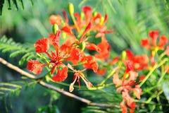 Цветок дерева пламени pulcherrima Caesalpinia Стоковое фото RF