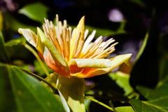 Цветок дерева тюльпана Стоковая Фотография