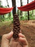 Цветок деревьев pinus Стоковое Фото