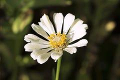 Цветок лета с желтой тычинкой и белыми лепестками Фото макроса Gerbera Стоковые Фото