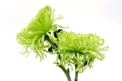 Цветок лета: хризантема изолированная на белой предпосылке Стоковая Фотография RF