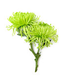 Цветок лета: хризантема изолированная на белой предпосылке Стоковое Изображение RF
