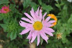 Цветок лета Стоковая Фотография RF