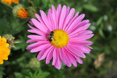 Цветок лета Стоковое Изображение