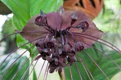 Цветок летучей мыши Стоковое Фото