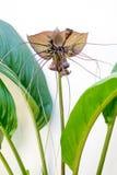 Цветок летучей мыши Стоковые Изображения