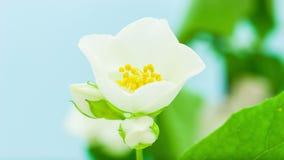 Цветок жасмина раскрывая Timelapse