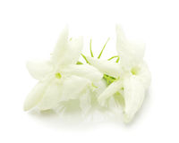 Цветок жасмина с листьями Стоковое Фото