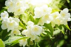 Цветок жасмина Стоковые Изображения