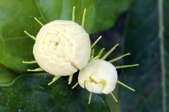 Цветок жасмина Стоковые Фотографии RF