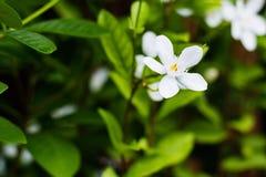 Цветок жасмина Crape Gerdenia, белый цветок стоковое фото rf