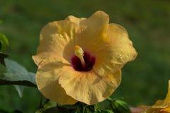 Цветок желтого гибискуса Hibiskus Стоковые Изображения RF