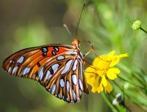Цветок желтого цвета бабочки рябчика залива Стоковая Фотография
