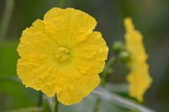Цветок желтого цвета тыквы Риджа Стоковые Фотографии RF
