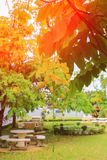 Цветок желтого цвета фистулы кассии Дерево золотого ливня с ветвью с предпосылкой света захода солнца красивой Стоковое Фото