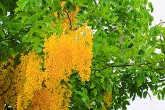 Цветок желтого цвета фистулы кассии Дерево золотого ливня с ветвью с предпосылкой света захода солнца красивой Стоковые Изображения RF