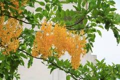 Цветок желтого цвета фистулы кассии Дерево золотого ливня с ветвью с предпосылкой света захода солнца красивой Стоковые Фото
