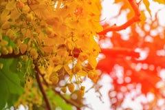 Цветок желтого цвета фистулы кассии Дерево золотого ливня с ветвью с предпосылкой света захода солнца красивой Стоковые Изображения