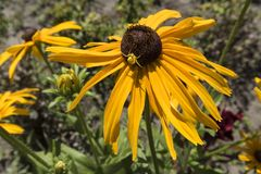 Цветок желтого цвета hirta Rudbeckia с пауком цветка Стоковые Фотографии RF