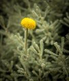 Цветок желтого цвета Immorttele стоковые фотографии rf