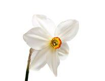 Цветок желтого narcissus Daffodil изолированного на белизне Стоковое Изображение RF