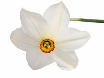 Цветок желтого narcissus Daffodil изолированного на белизне Стоковое Изображение