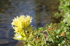 Цветок желтой горечавки Стоковые Изображения