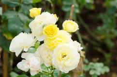 Цветок желтых роз в саде Стоковое Изображение