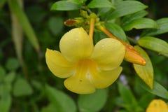 Цветок желтая Азия Стоковая Фотография RF
