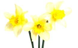 Цветок желтого изолированного narcissus Daffodil Стоковые Фотографии RF